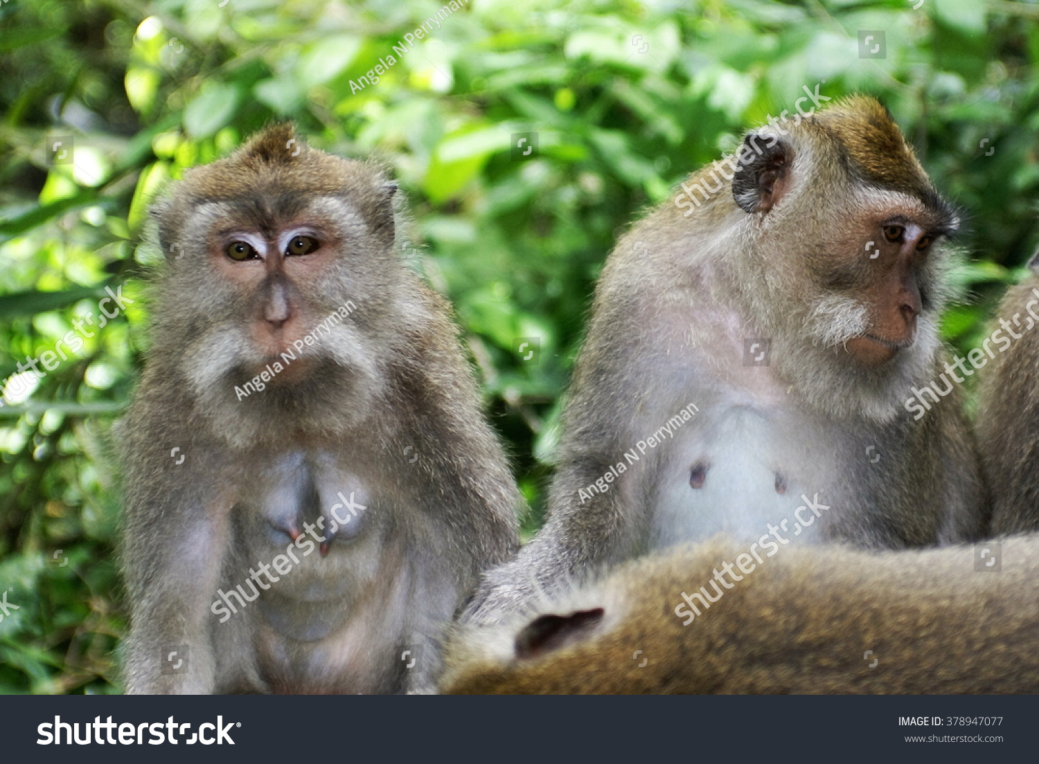 Crab-eating macaques (Macaca fascicularis) sitting on a stone wall #378947077