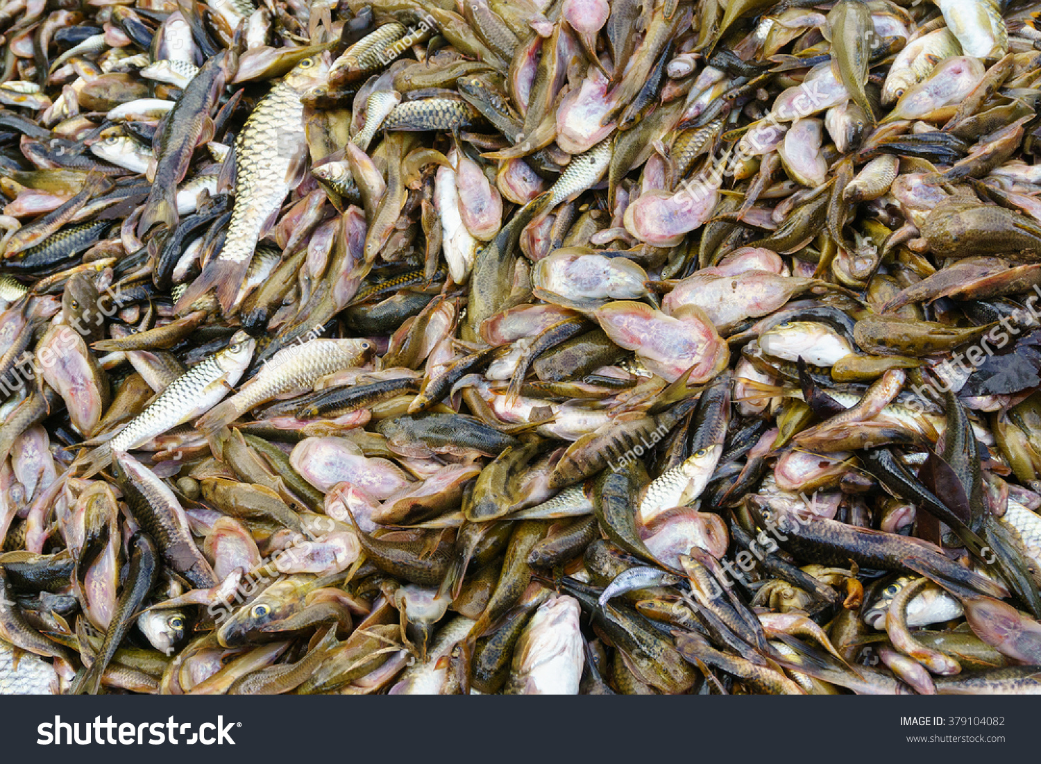 Freshwater fish in malaysia - Abundance Of Freshwater Fish From Tropical River Consist Of Borneon Sucker Fish Malaysian Mahseer And