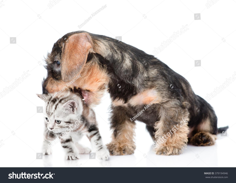 Wirehaired Dachshund Puppy Biting Kitten Isolated Stock Photo (Edit ...