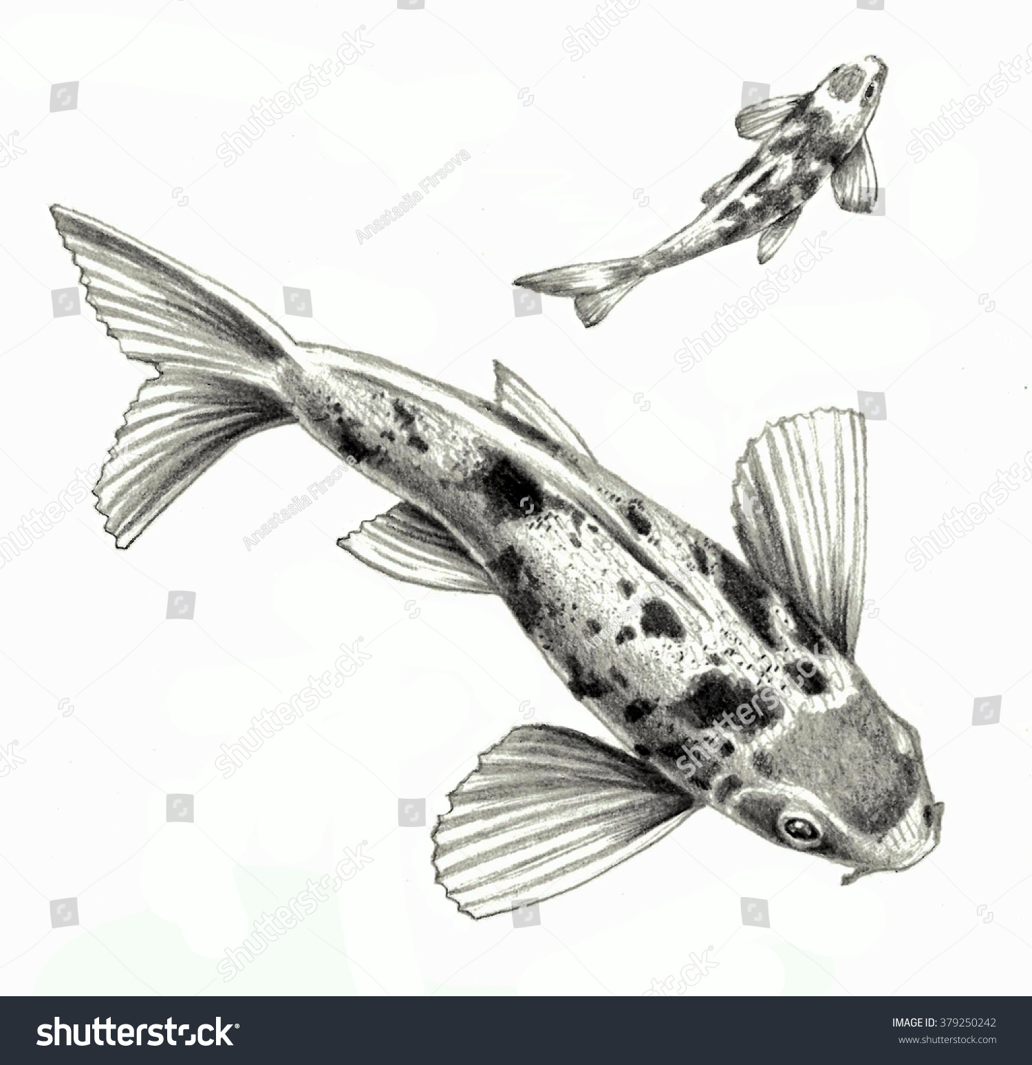 Japanese Carp Fish Isolated On White Stock Illustration 379250242 ...