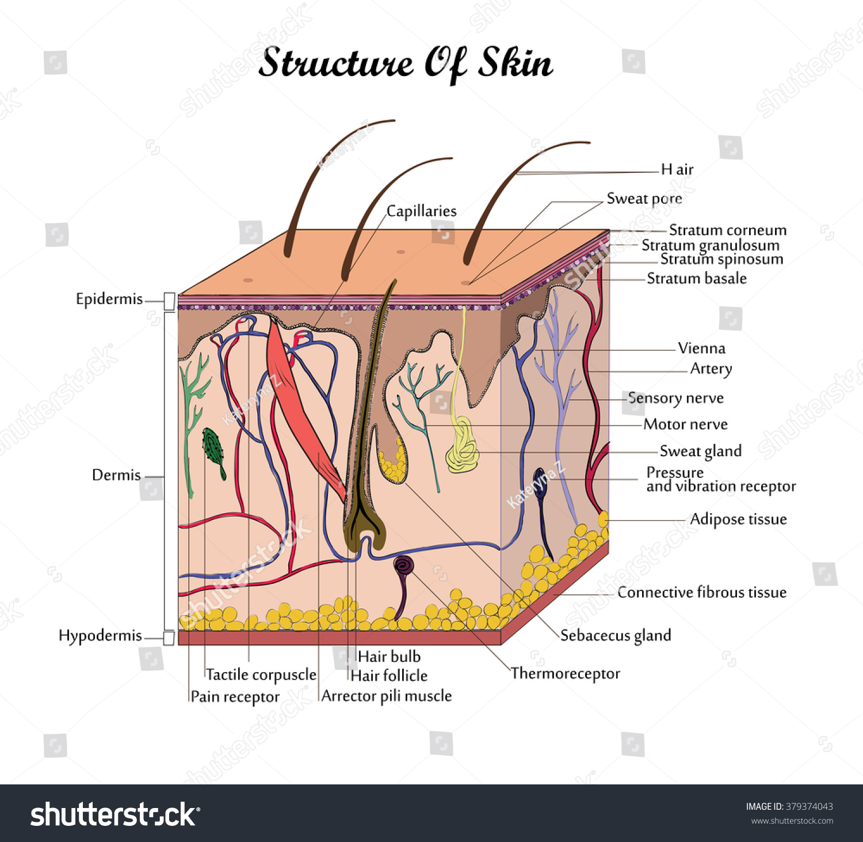 Coor vector structure skin signatures stock vector 379374043 coor vector structure skin with signatures pooptronica