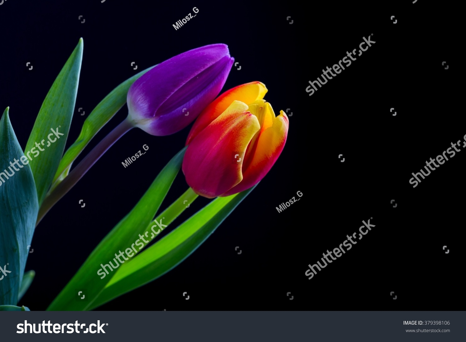 Beautiful Tulip Flowers Isolated On Black Stock Photo Edit Now