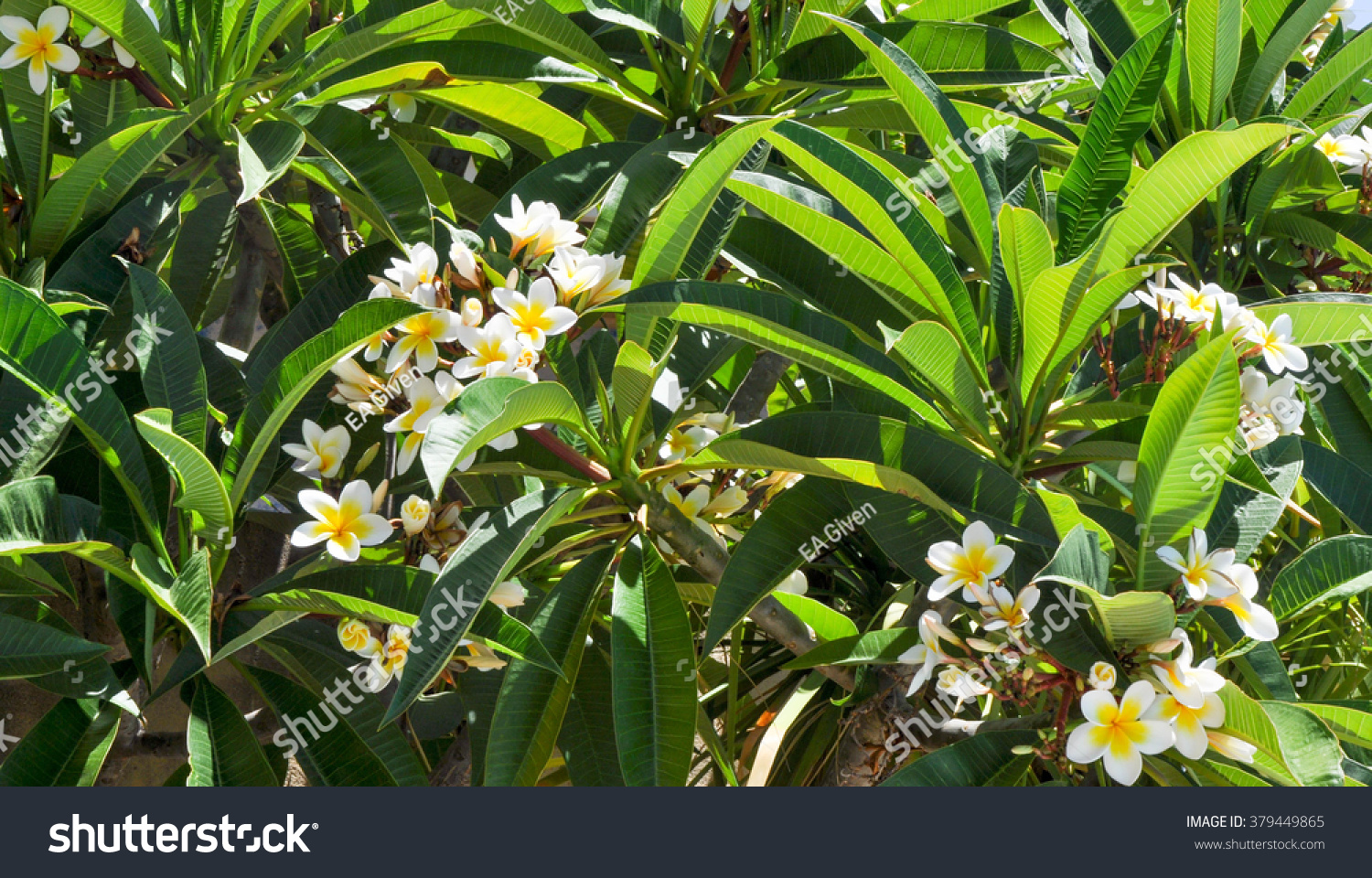 Frangipani Tropical Plant Delicate White Yellow Stock Photo Edit