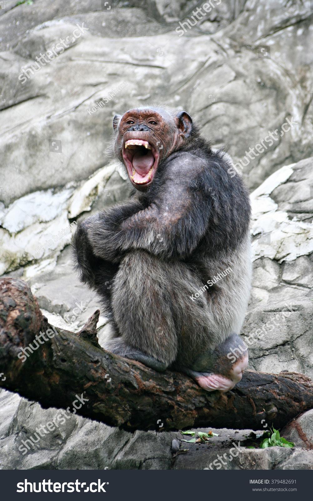 angry simpanse simpansepan troglodytes stock photo 379482691