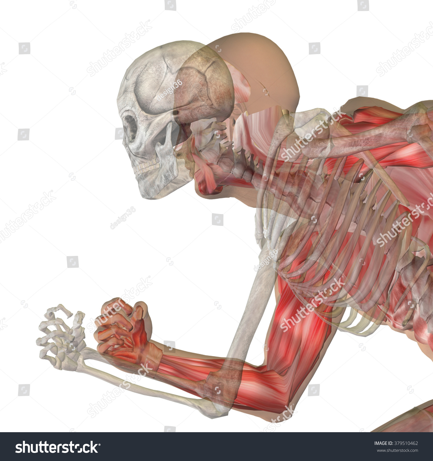 Human Man Male 3 D Anatomy Bones Stock Illustration Royalty Free