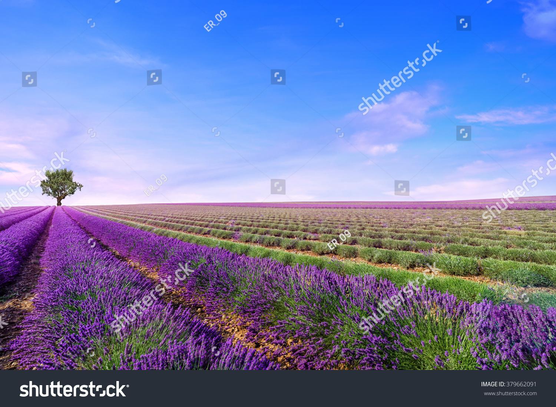 Beautiful image of lavender field Summer landscape