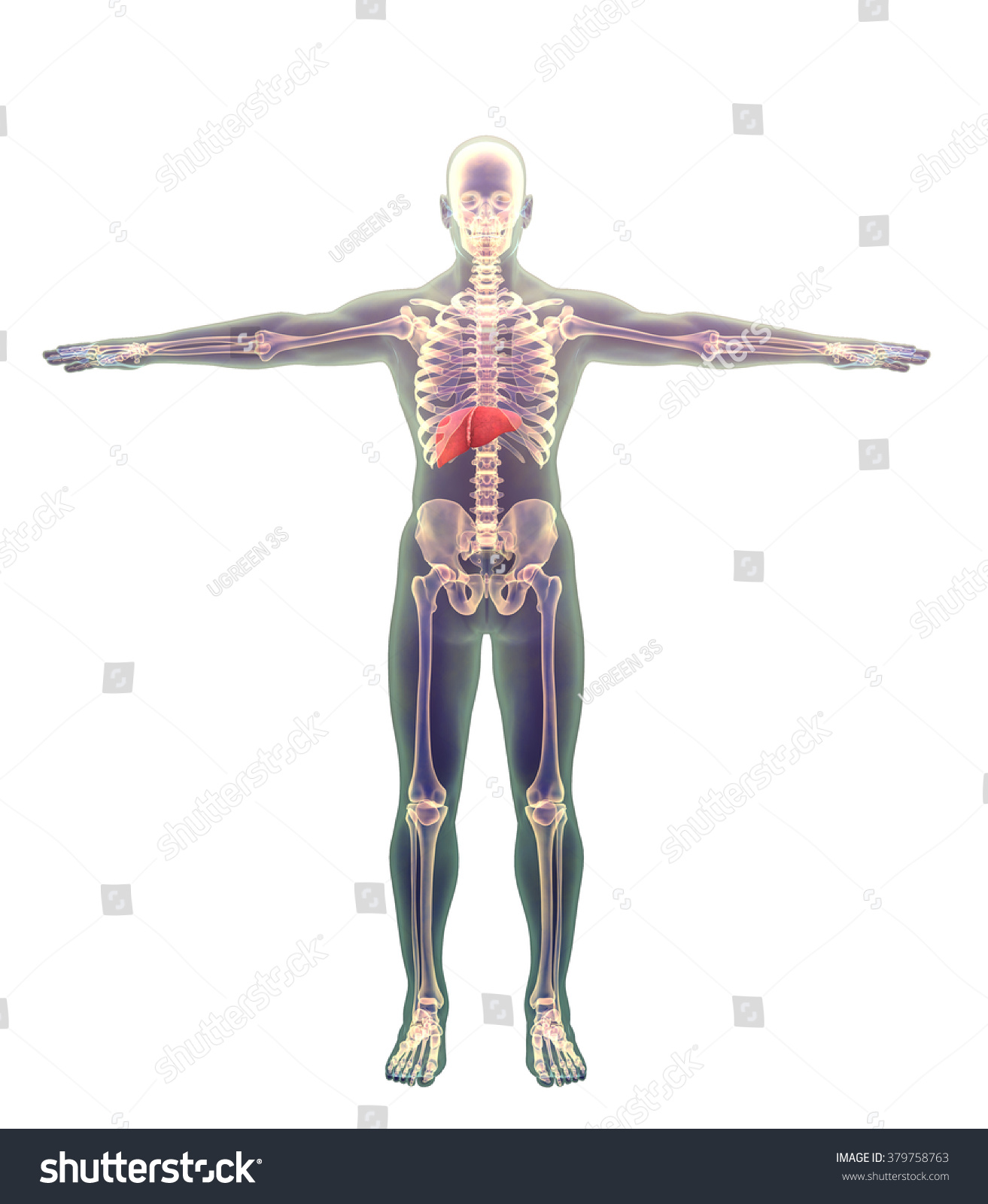 Liver Human Male Showing Liver On Stock Illustration Royalty Free