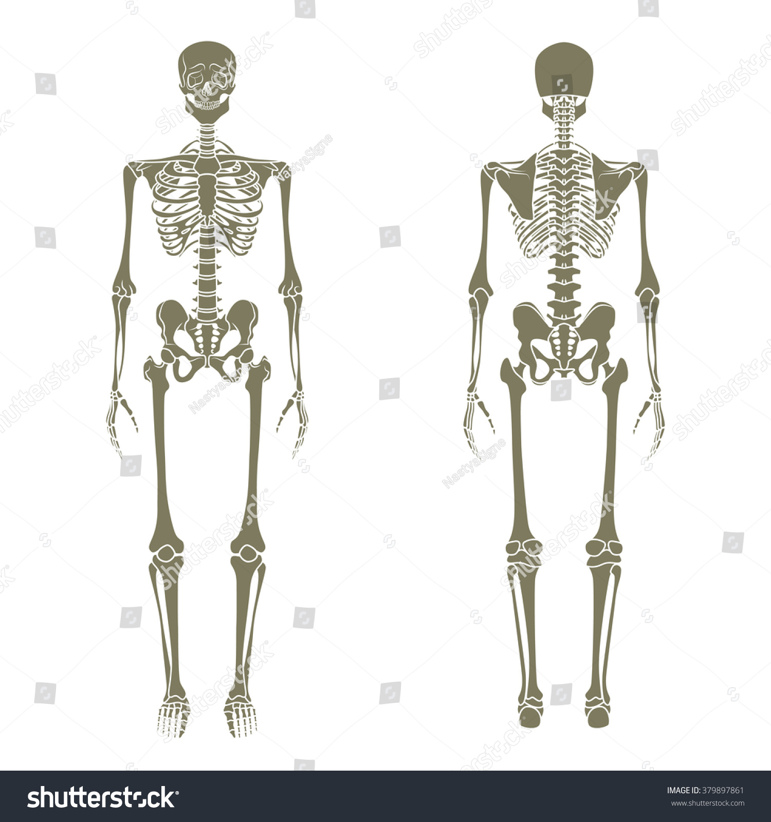 Human Skeletal System Front Rear View Stock Vector Royalty Free