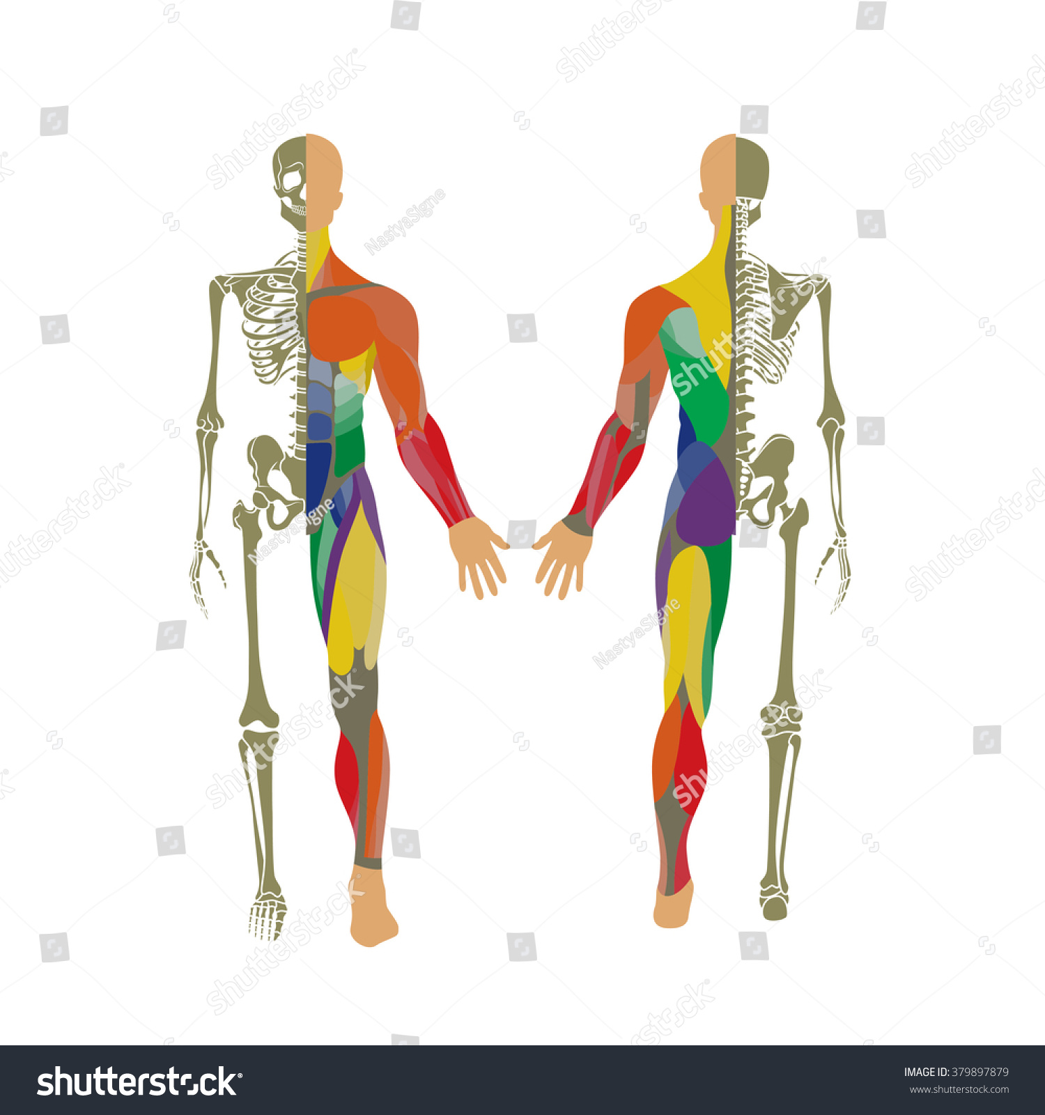 Human Bony Muscular System Front Rear Stock Vector Royalty Free