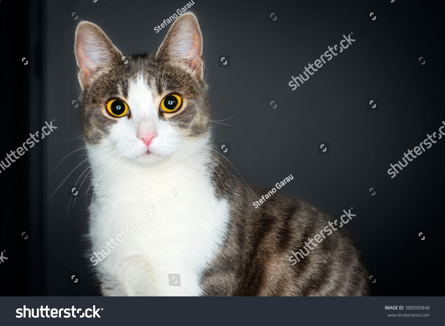 Portrait Cute Young Tabby White Cat Stock Photo (Royalty Free ...