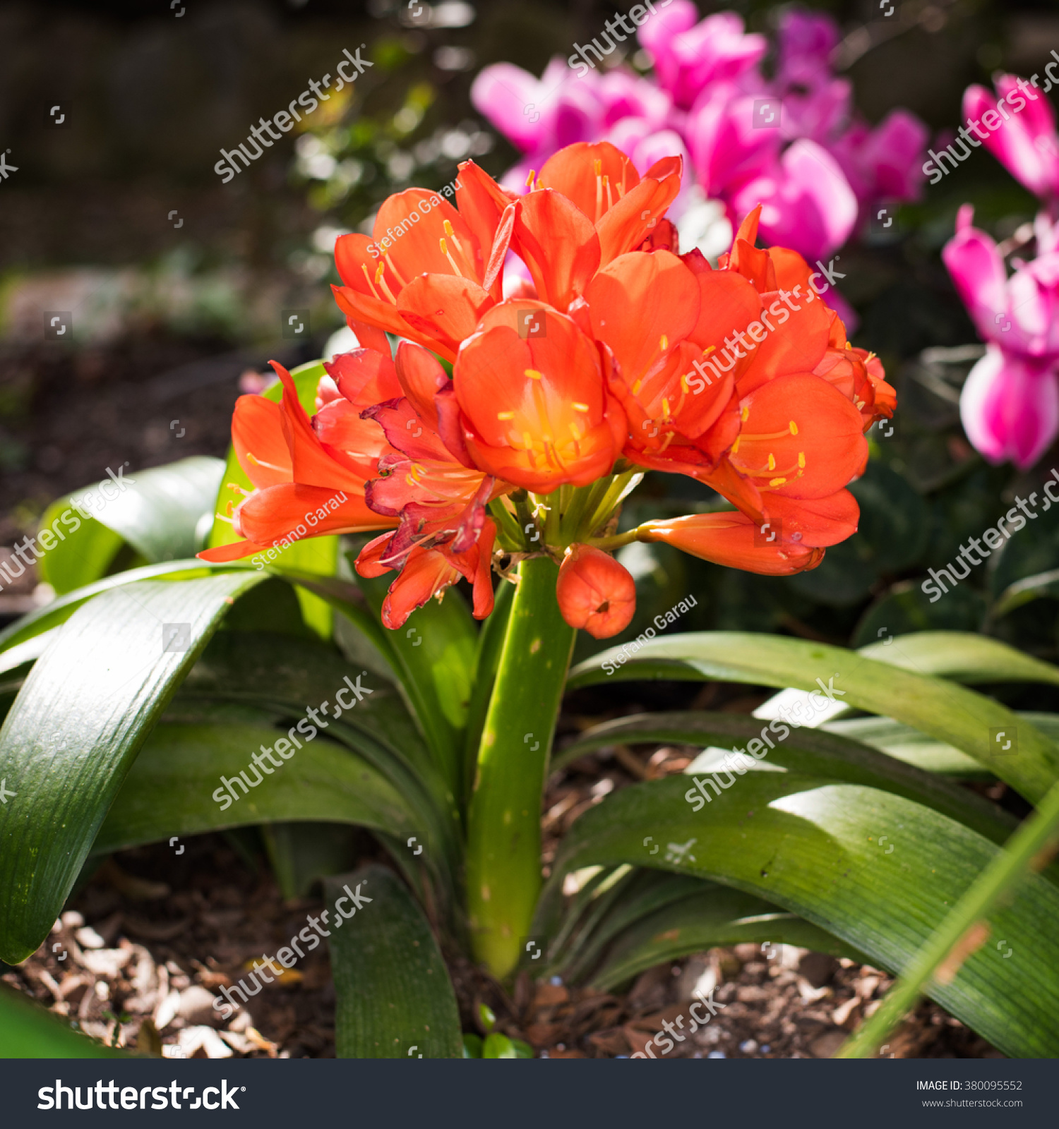 Clivia miniata flowers lily flower bed stock photo edit now clivia miniata flowers of lily in a flower bed with pink flowers in the background izmirmasajfo