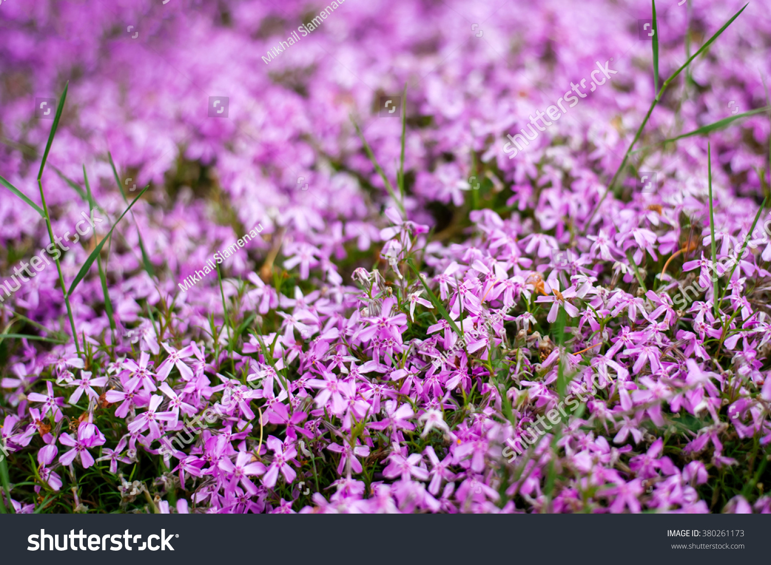 Blooming Flowers Early Spring Beautiful Purple Stock Photo Edit Now
