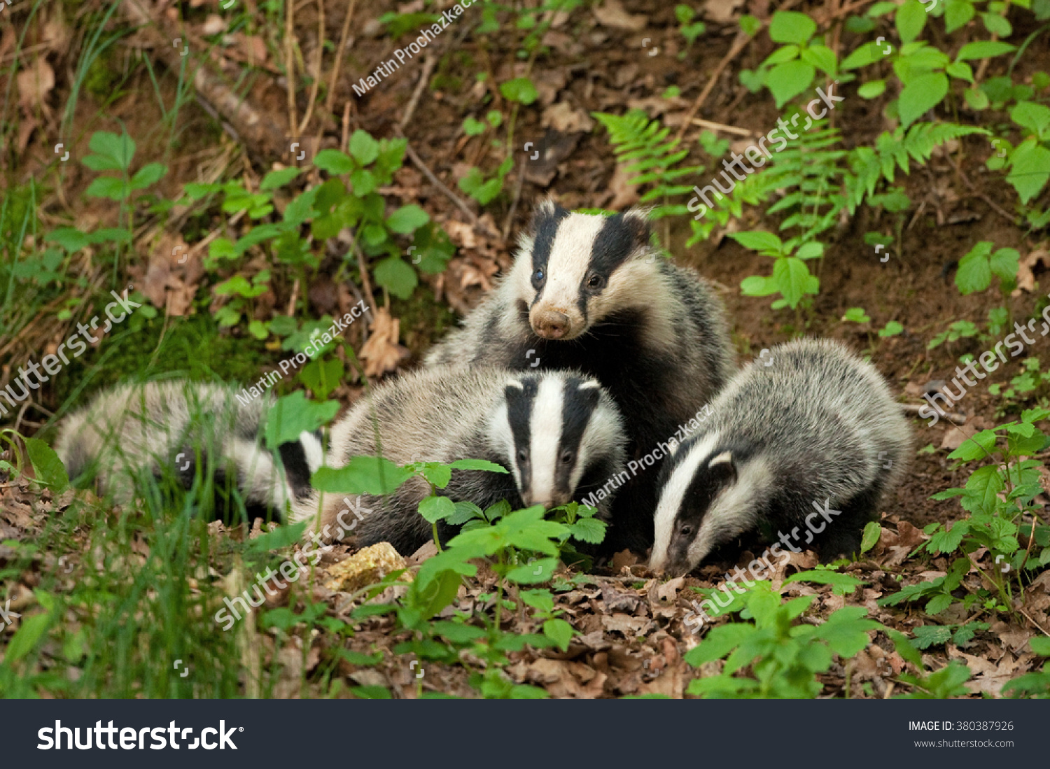 European Badger Meles Meles Stock Photo 380387926