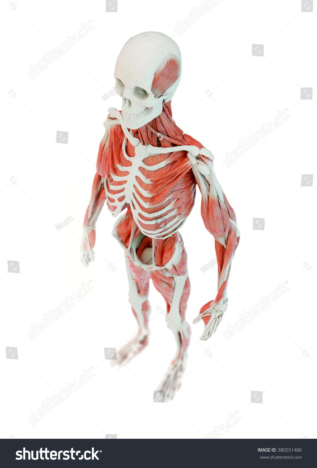 Detailed Deep Muscle Human Anatomy Illustration Stock Illustration ...