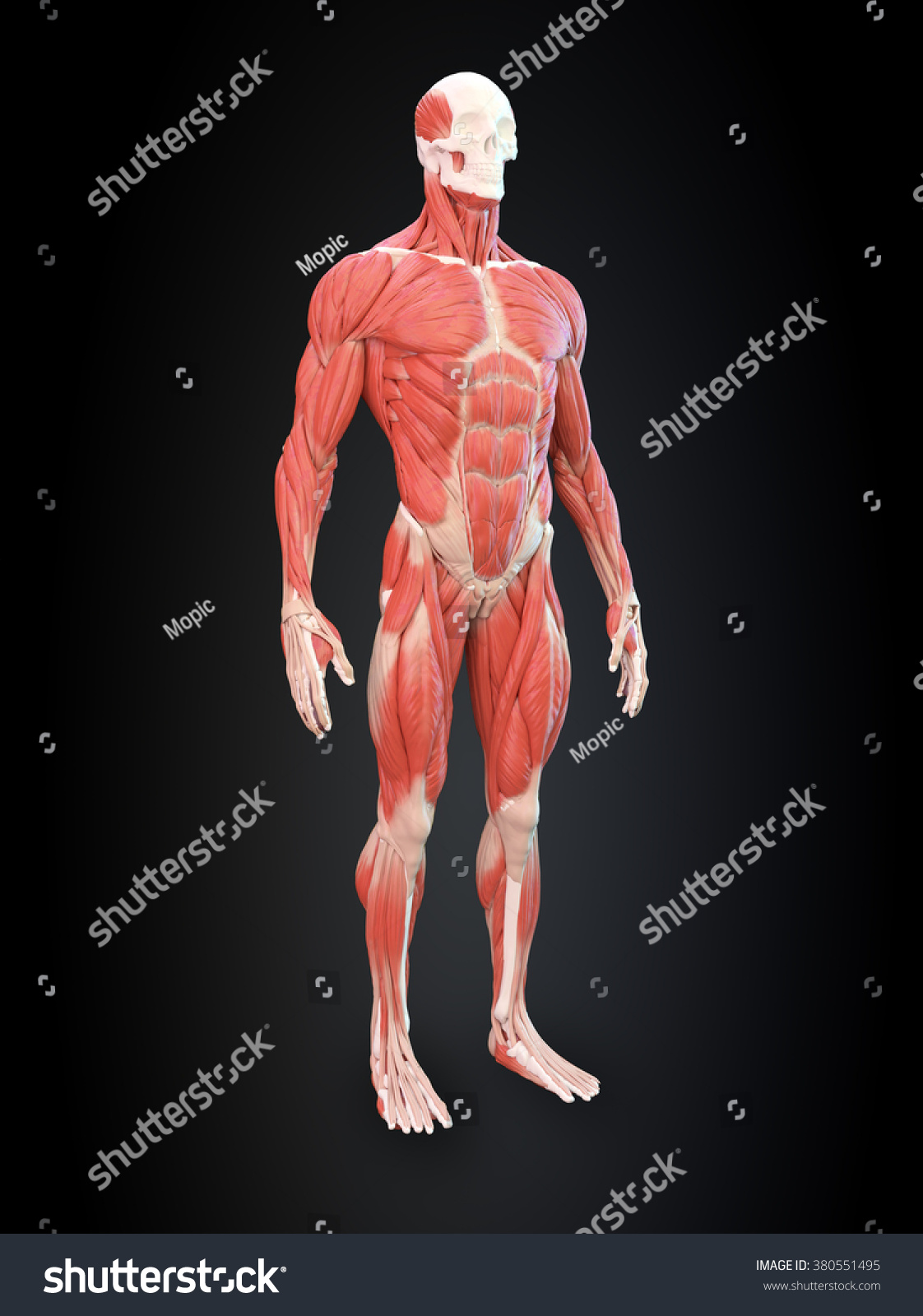 Detailed Muscle Human Anatomy Illustration Stock Illustration