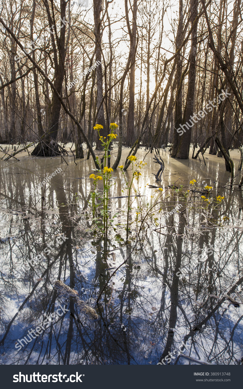 Cypress Swamp Northern Florida Yellow Flowers Stock Photo Edit Now