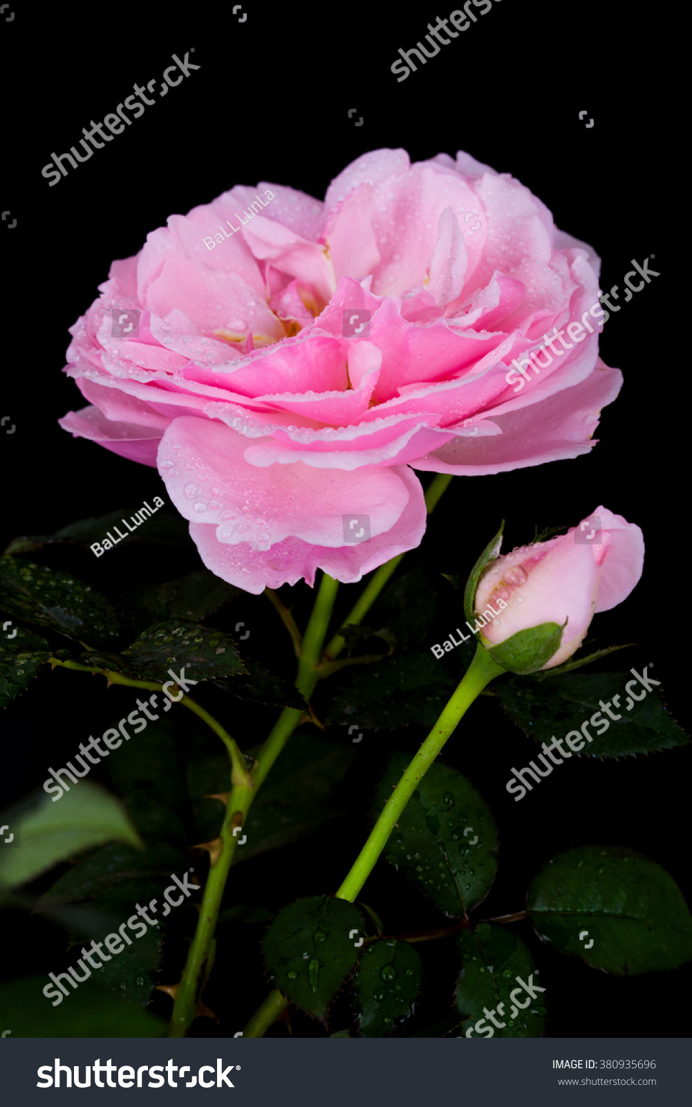 Beautiful pink rose water drop on stock photo edit now 380935696 beautiful pink rose with water drop on black background izmirmasajfo