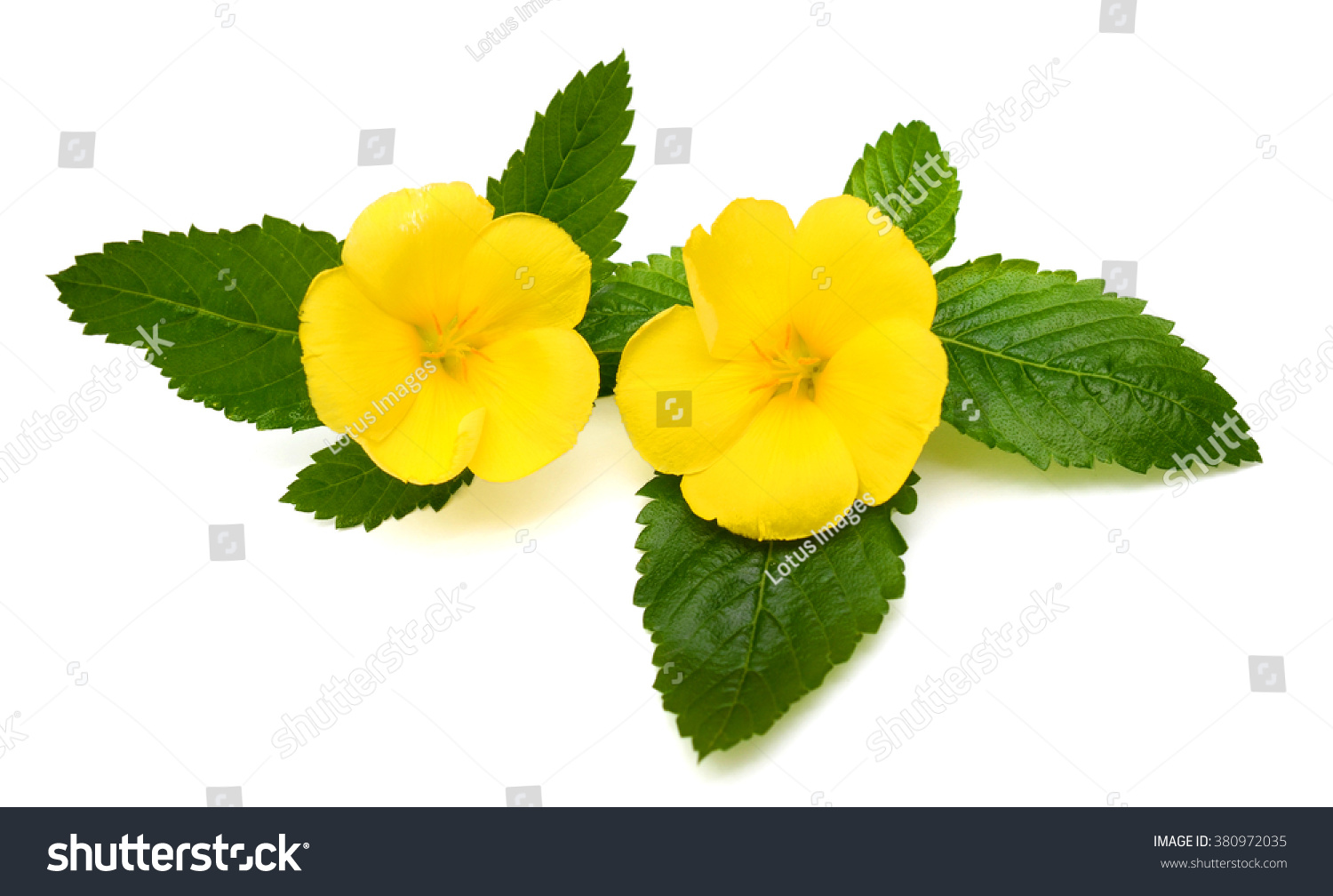 Beautiful Yellow Sage Rose Flowers Isolated Stock Photo Royalty