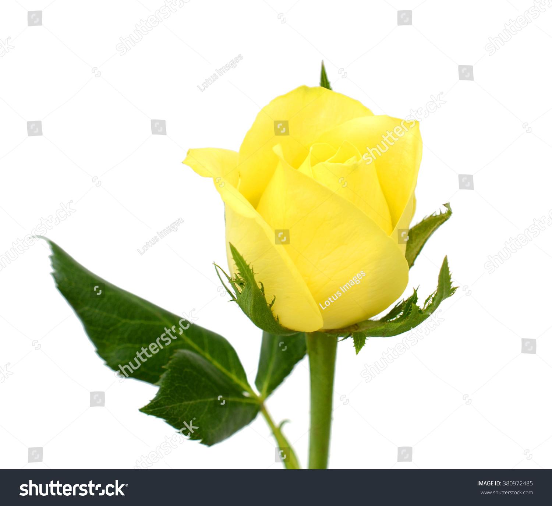 beautiful yellow rose flower isolated on stock photo