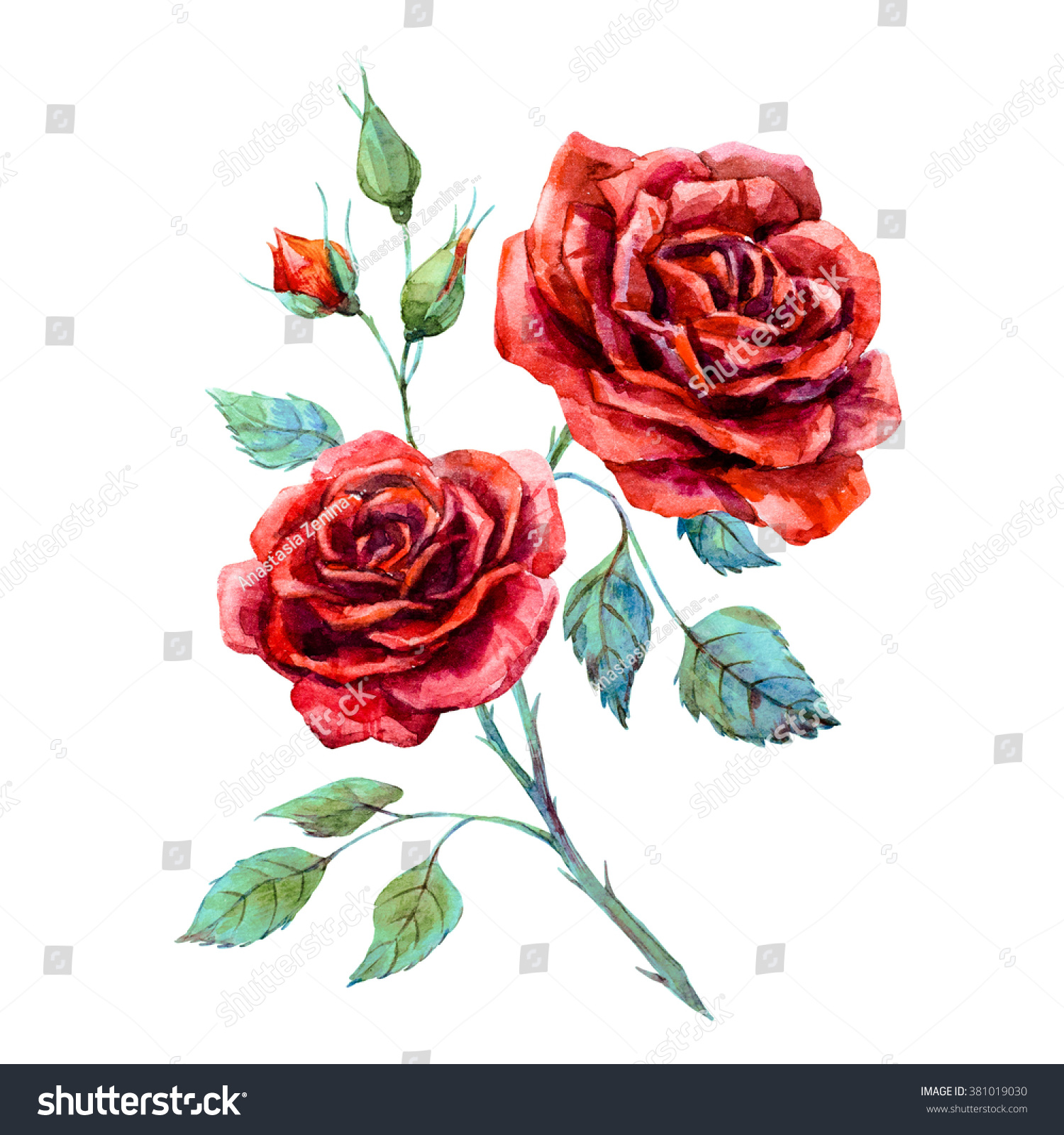 watercolor drawing red rose isolated onのイラスト素材 381019030
