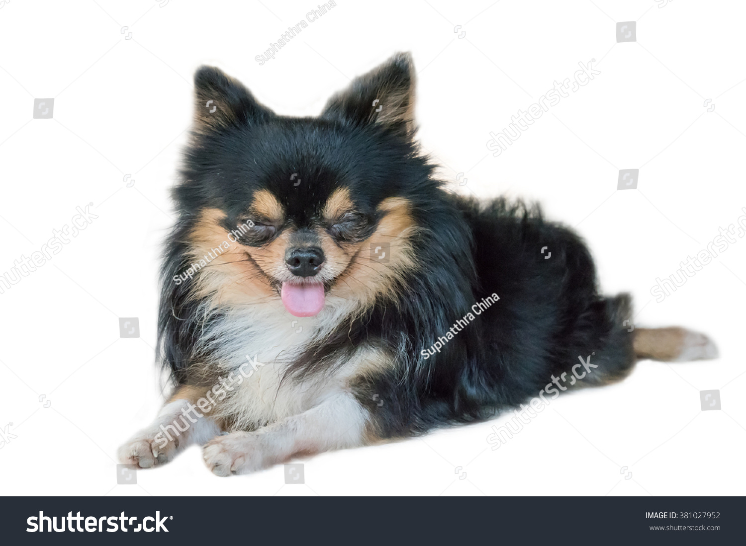 Photo Of Cute Small Long Haired Tricolor Chihuahua Dog Resting
