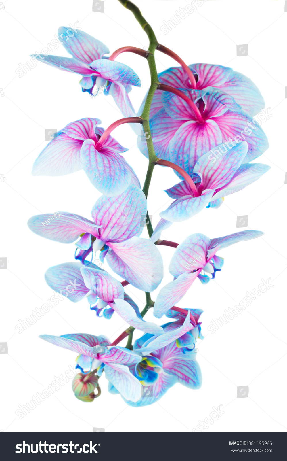 Stem Of Fresh Blue Orchid Flowers And Buds Close Up Isolated On