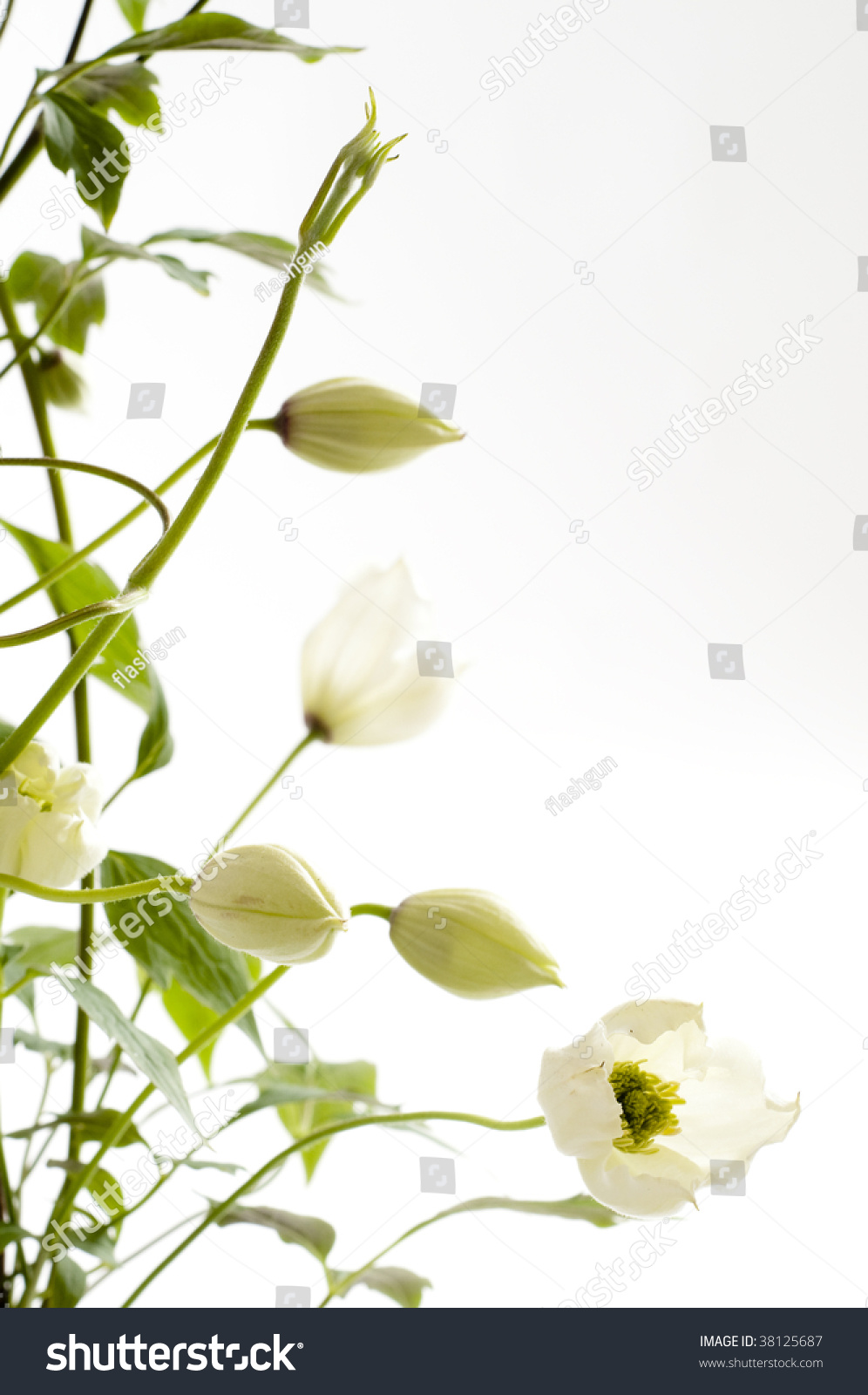 Clematis Persian Fragrance Climbing Plant White Stock Photo Image