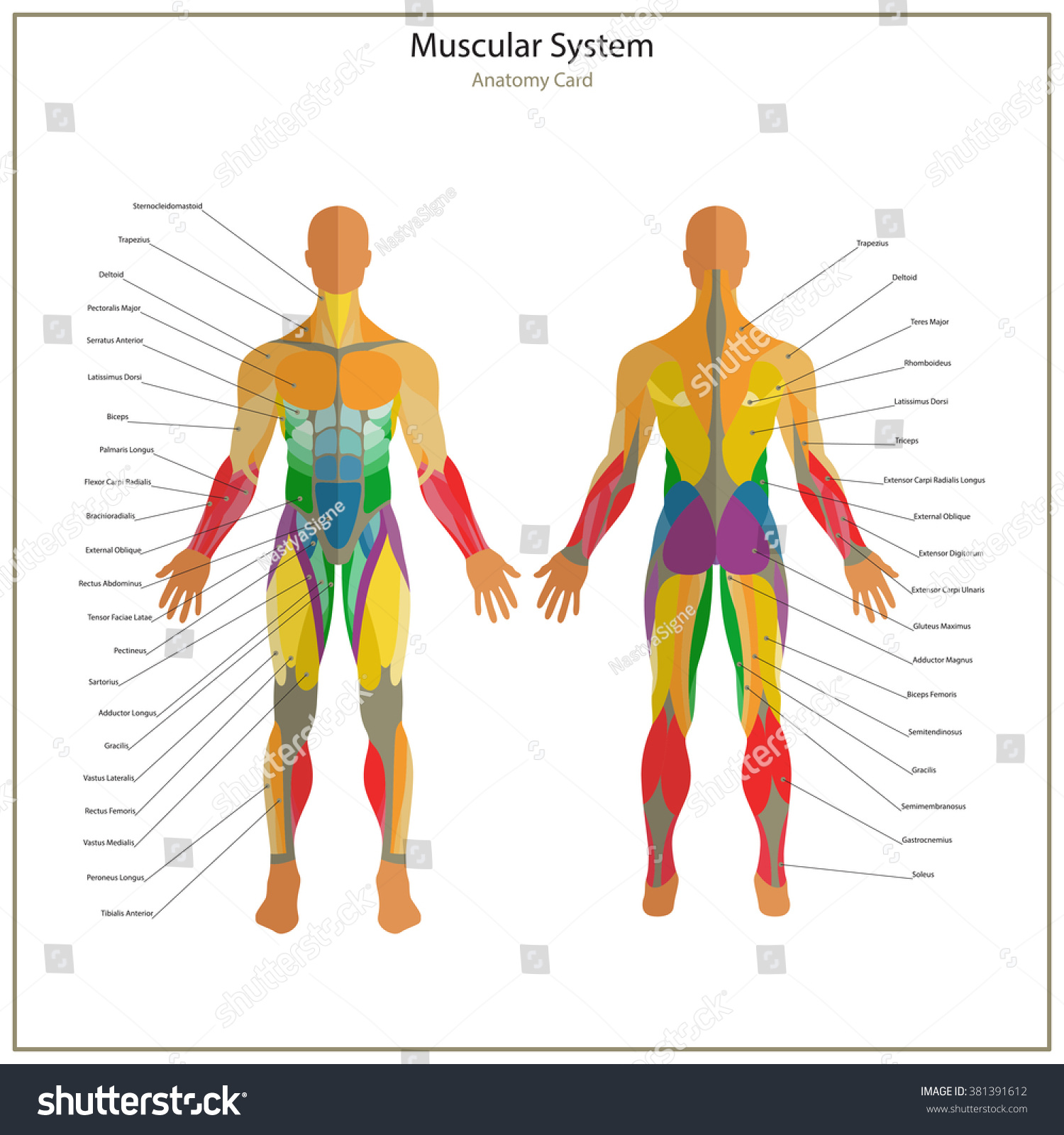 illustration human muscles exercise anatomy guide stock vector, Muscles
