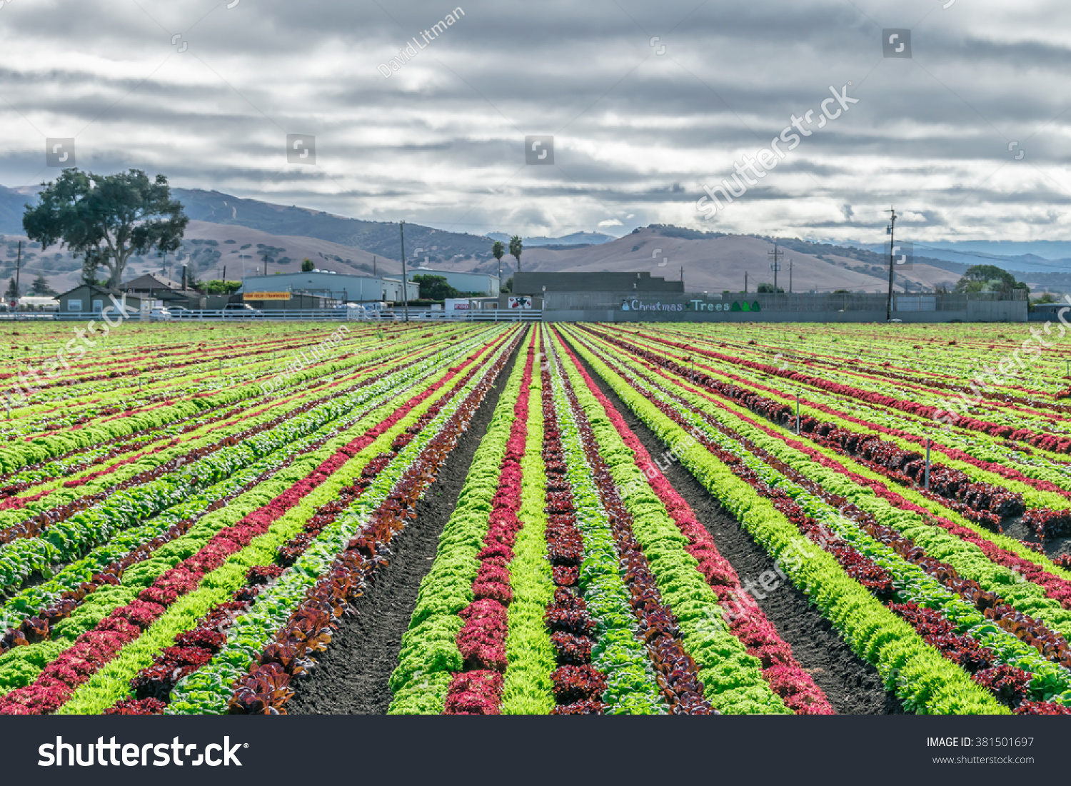 Salinas Valley agriculture: A colorful rainbow of agricultural fields of crops (lettuce plants), including mixed green, red, purple varieties, grow in rows in Central California (United States).
