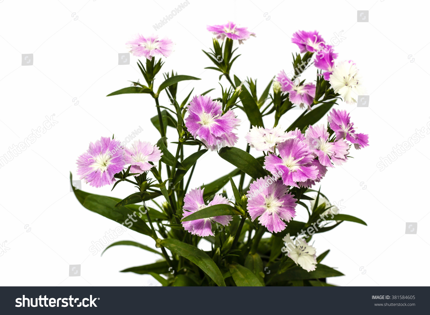 Dianthus Chinensis China Pink Flowers On White Background Ez Canvas