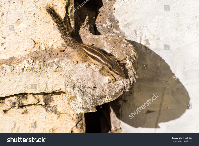 stock-photo-indian-palm-squirrel-funambu