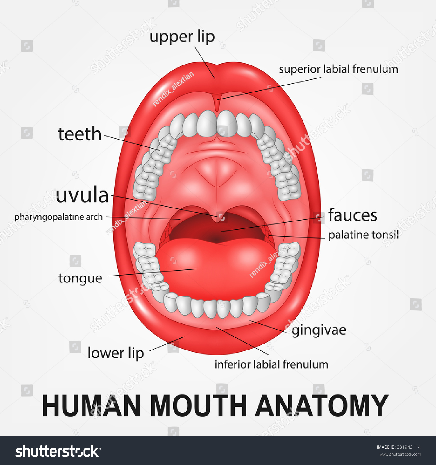 Human Mouth Anatomy Open Mouth Explaining Stock Vector 381943114