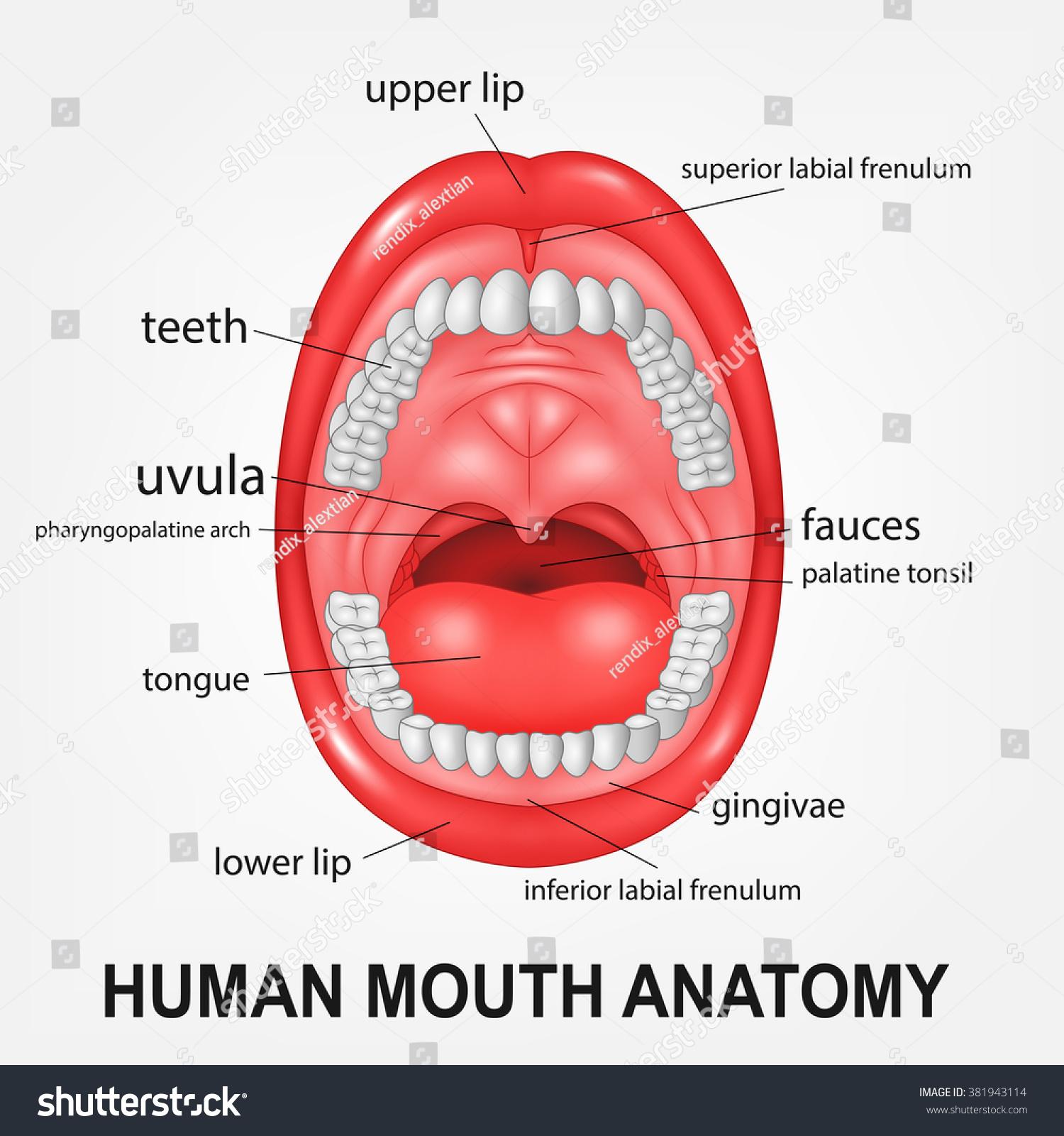 Open Mouth Diagram 86