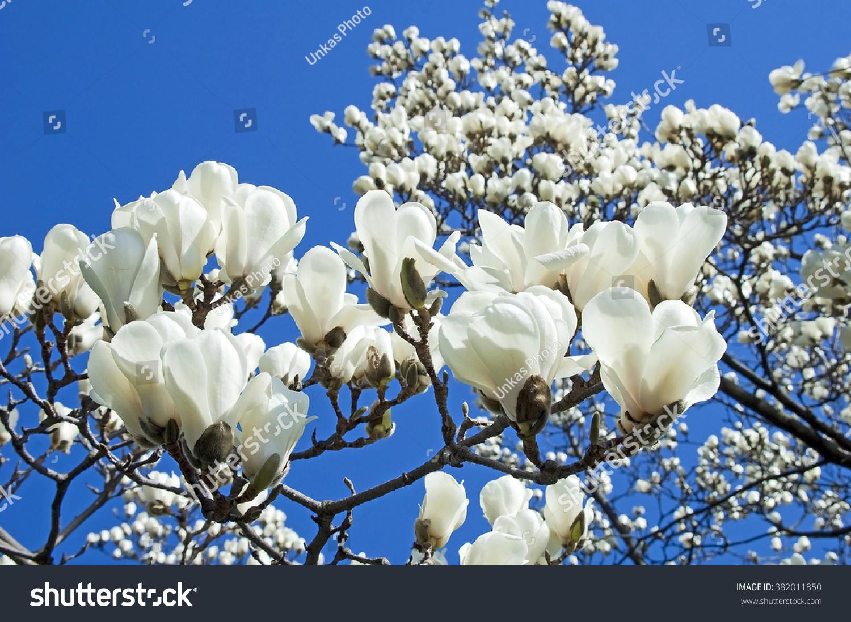Bloomy Magnolia Tree Big White Flowers Stock Photo Edit Now