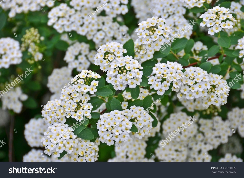 Spiraea alpine spring flower white flowering stock photo edit now spiraea alpine spring flower white flowering shrub mightylinksfo