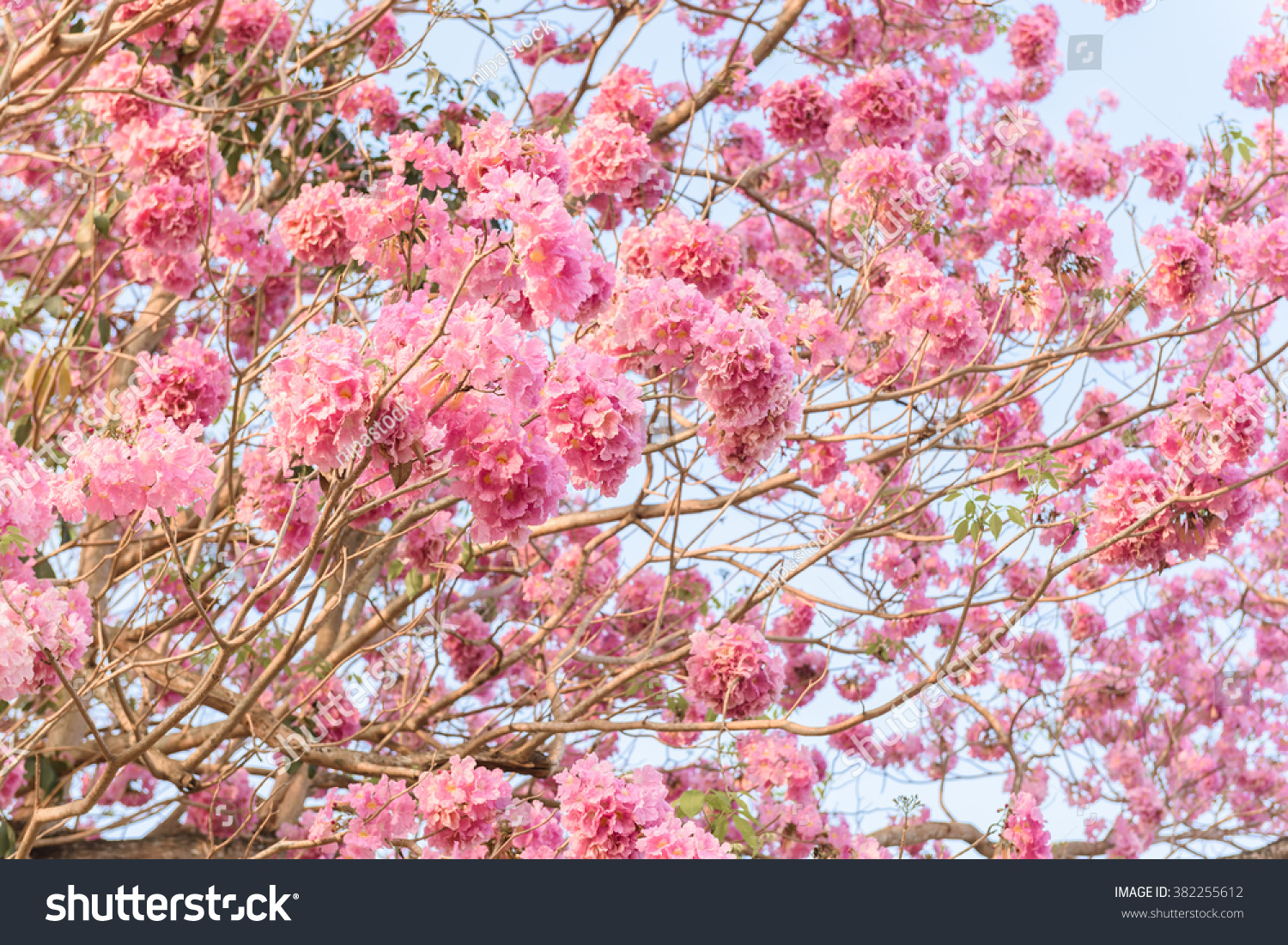 Royalty Free Tabebuia Rosea Is A Pink Flower 382255612 Stock Photo