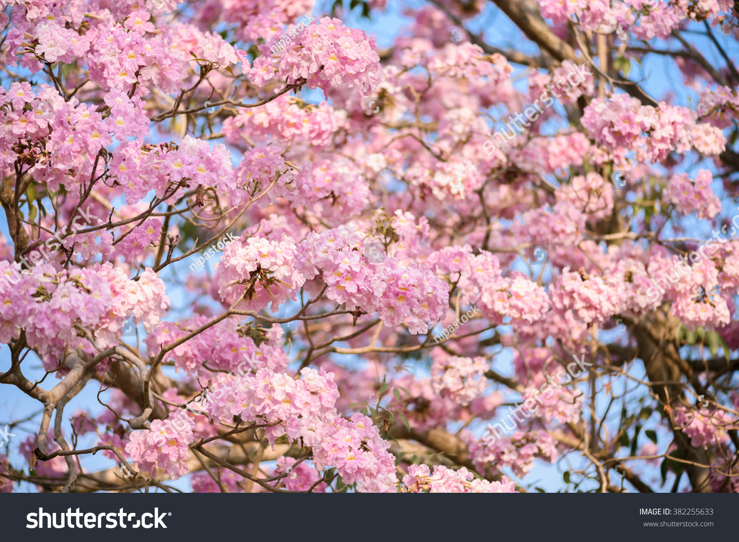 Tabebuia Rosea Is A Pink Flower Neotropical Tree Common Name Pink