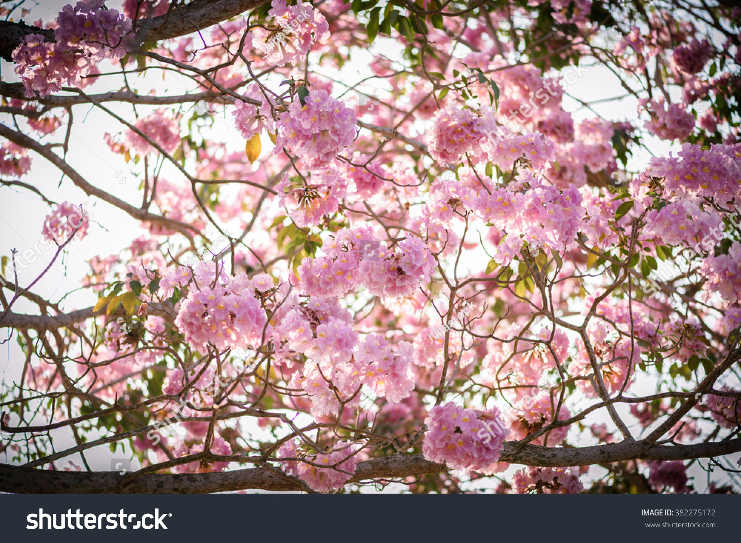 Rani Pink Colour Tabebuia Rosea Pink Flower Neotropical Tree Stock Photo