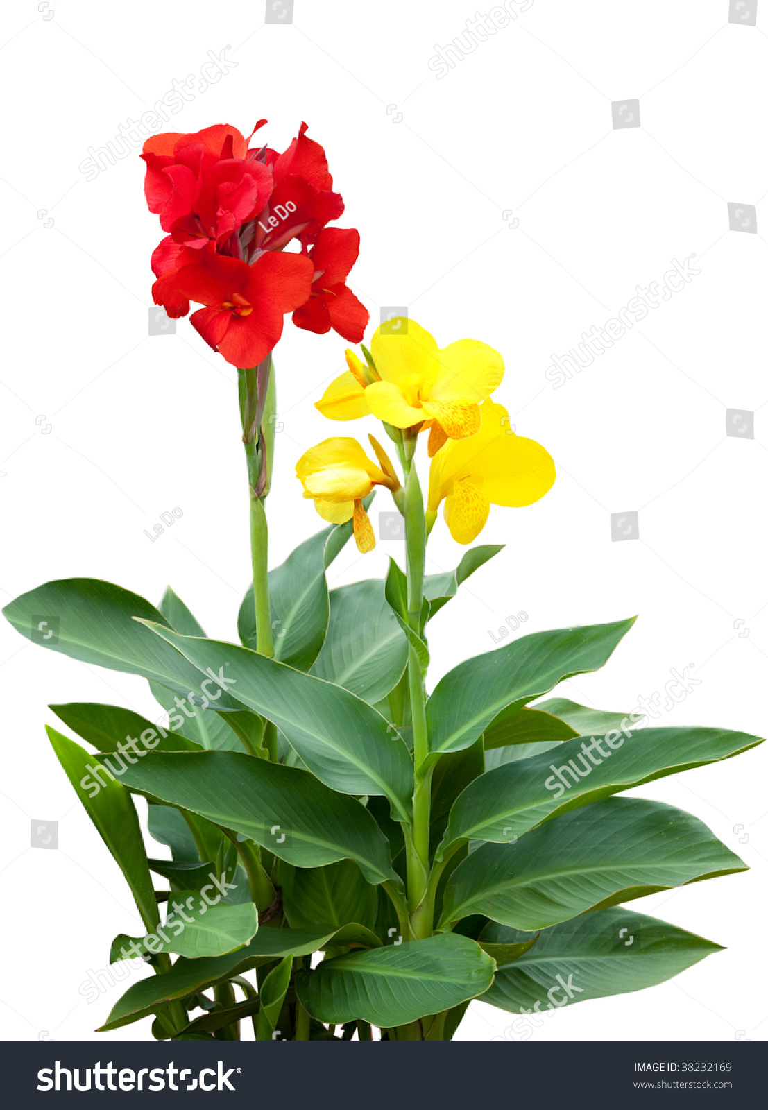 Red Yellow Canna Flower Plants Isolated Stock Photo Edit Now