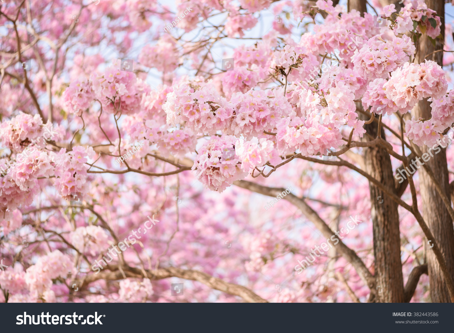 Royalty Free Tabebuia Rosea Is A Pink Flower 382443586 Stock Photo