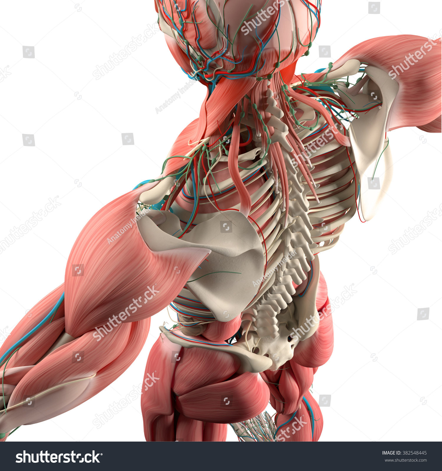 Human Anatomy Backtorso Skeletonmuscle High Angle Stock Illustration