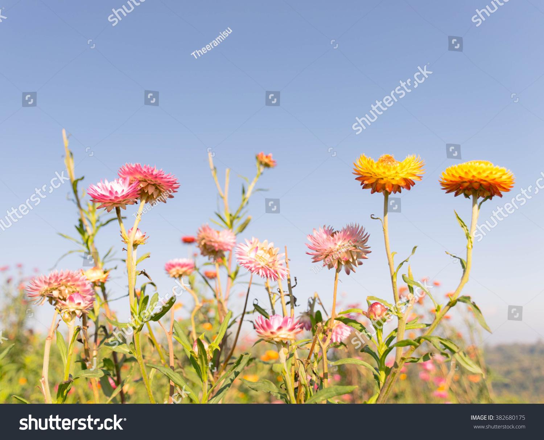 Everlasting flower field stock photo download now 382680175 everlasting flower field izmirmasajfo