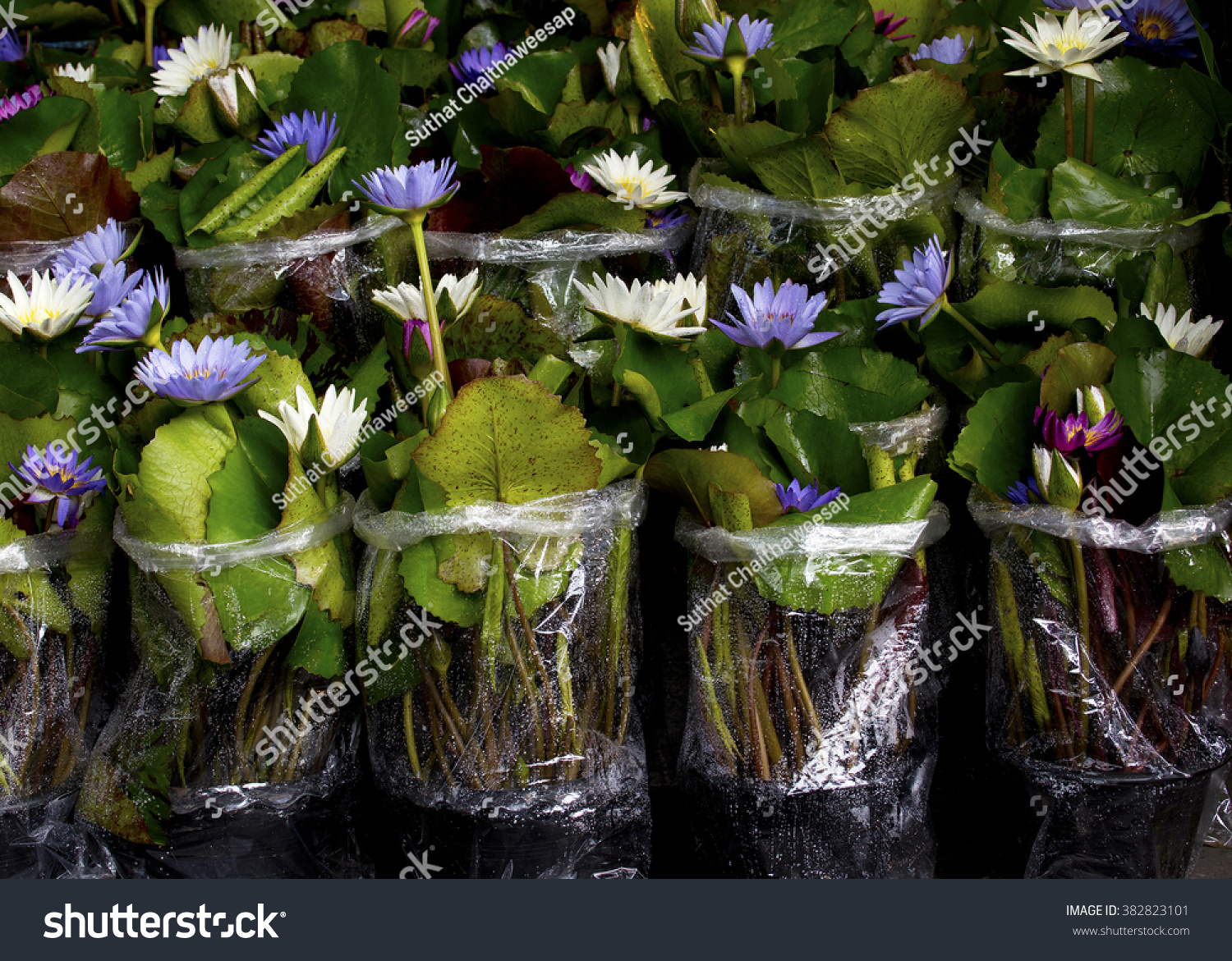 Small Flower Shop Lotus Flower Lotus Stock Photo Edit Now 382823101
