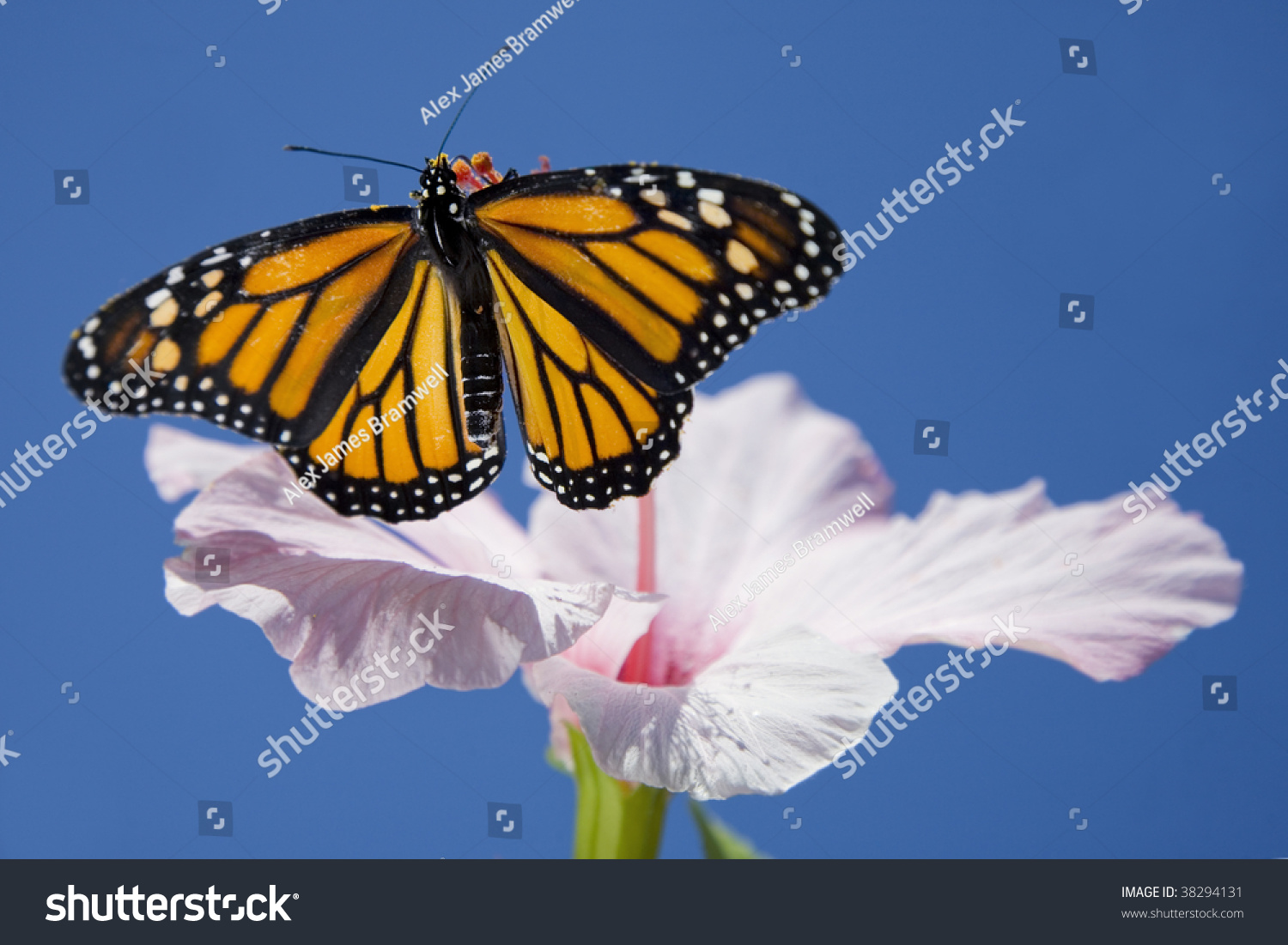 A Monarch Butterfly Resting On A Tropical Hibiscus Flower