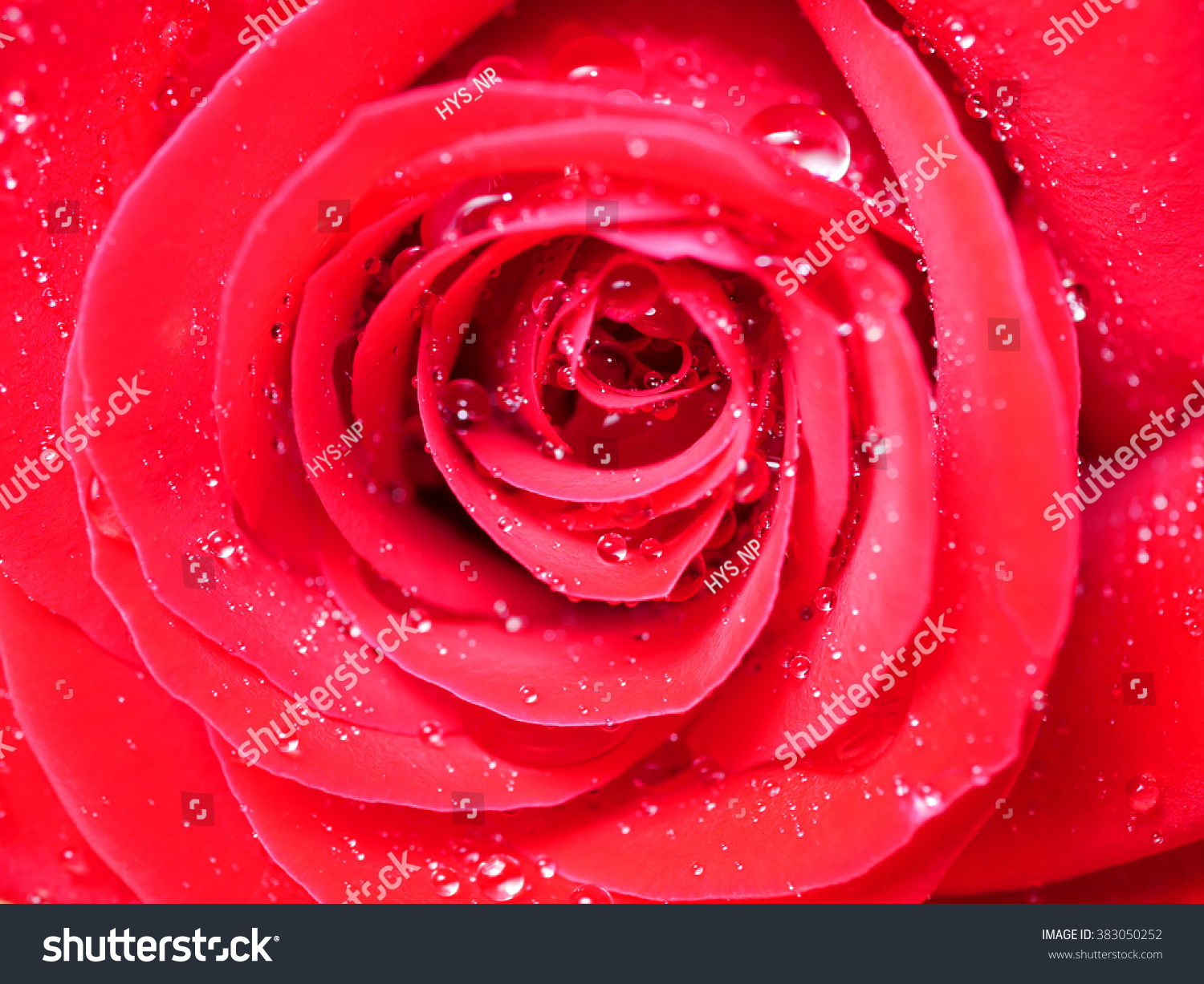 Close Red Rose Flower Water Drop Stock Photo Edit Now 383050252