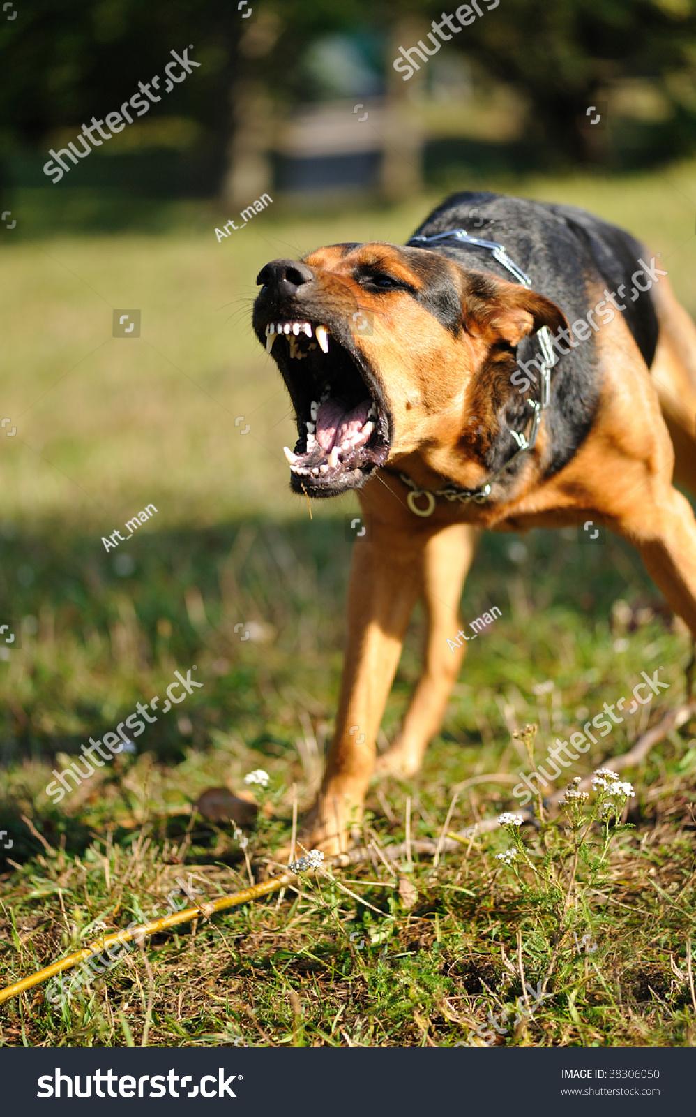 Angry boxer dog teeth - photo#15