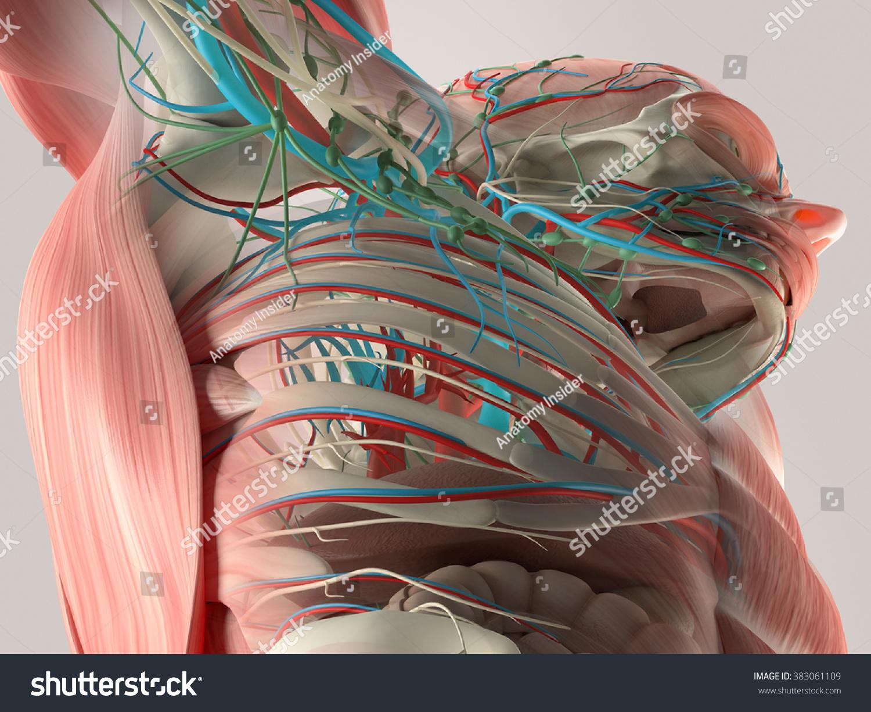 Chest vein anatomy