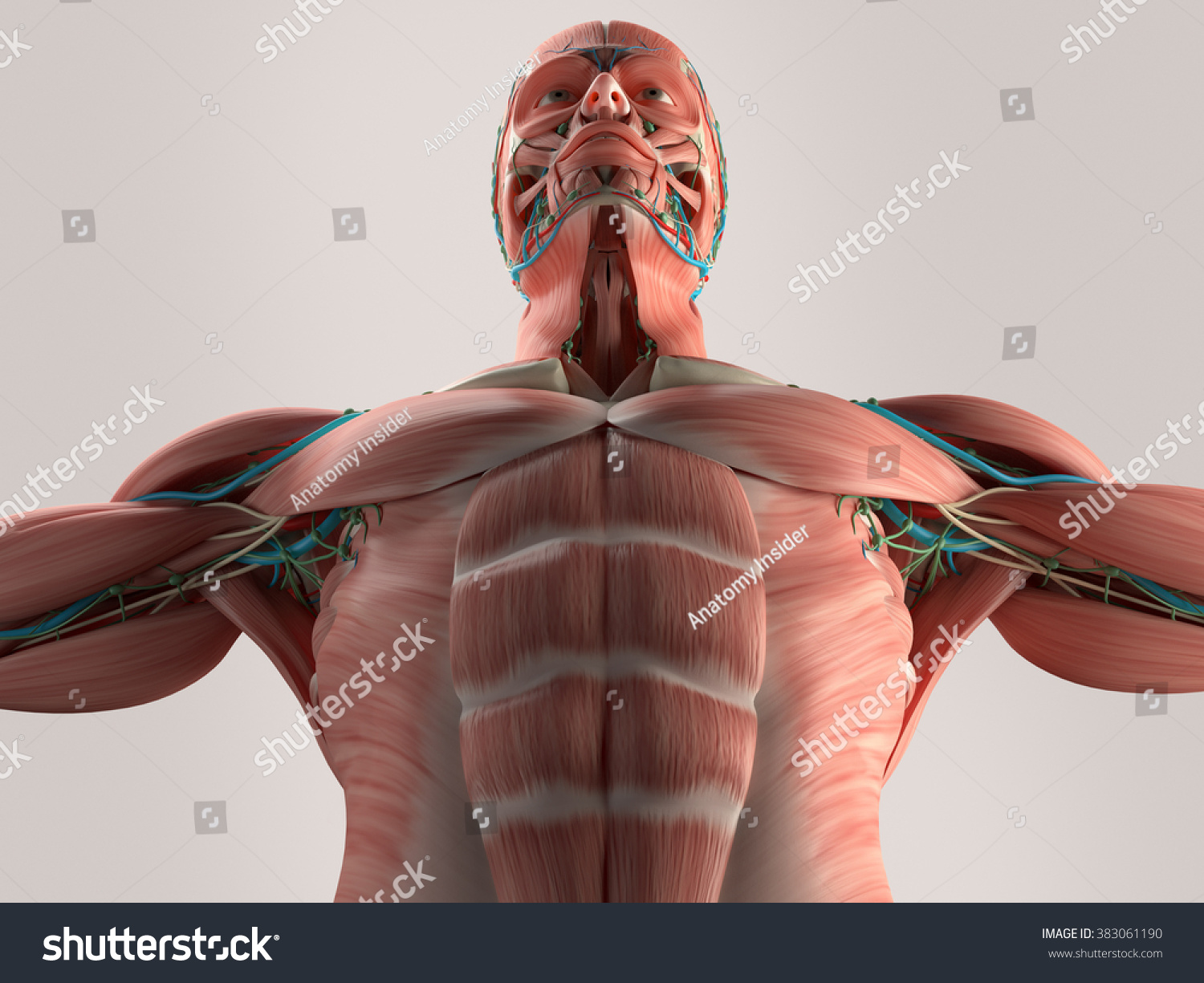 Human Anatomy Chest Low Angle Muscle Stock Illustration 383061190 ...