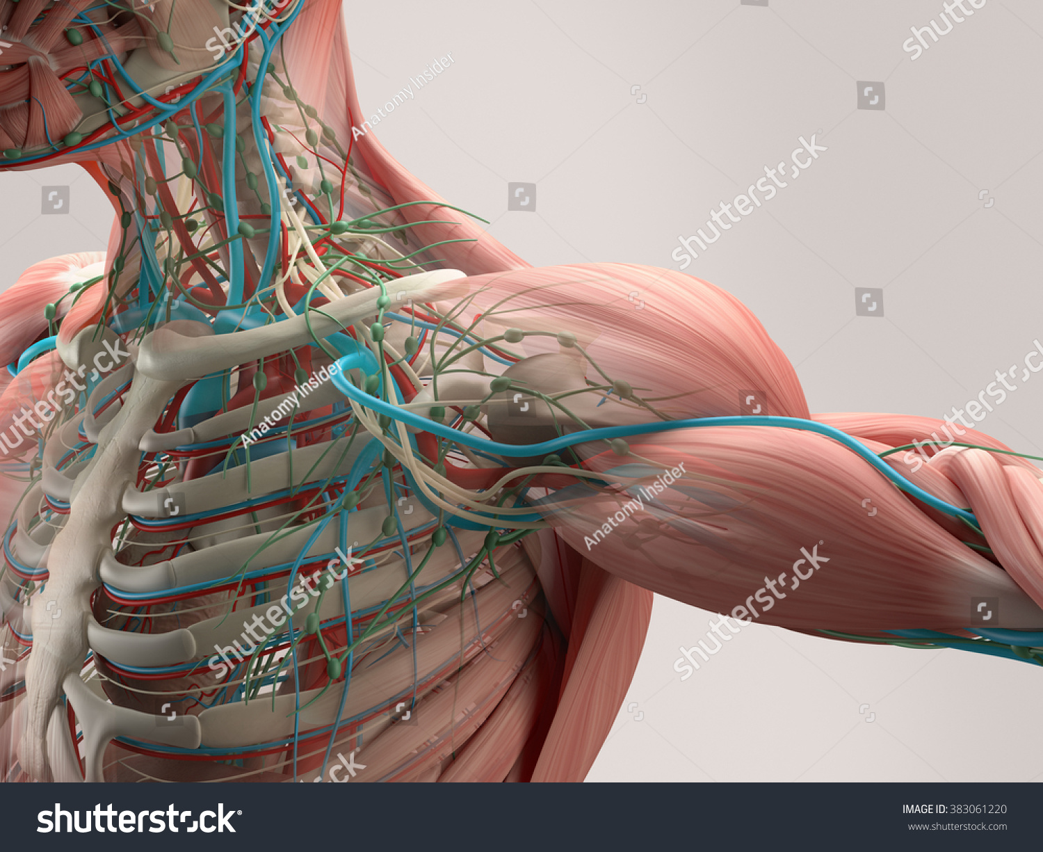 Royalty Free Stock Illustration Of Human Anatomy Detail Shoulder