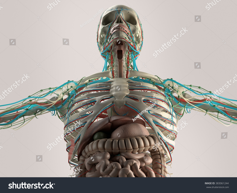 Human Anatomy Chest Low Angle Bone Stock Illustration 383061244